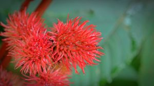 Le ricin : plante permettant d'obtenir l'huile de ricin